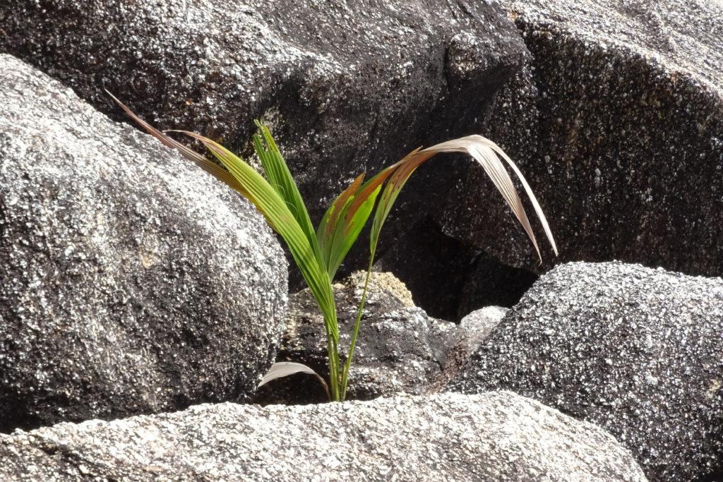Staude wächst aus Stein
